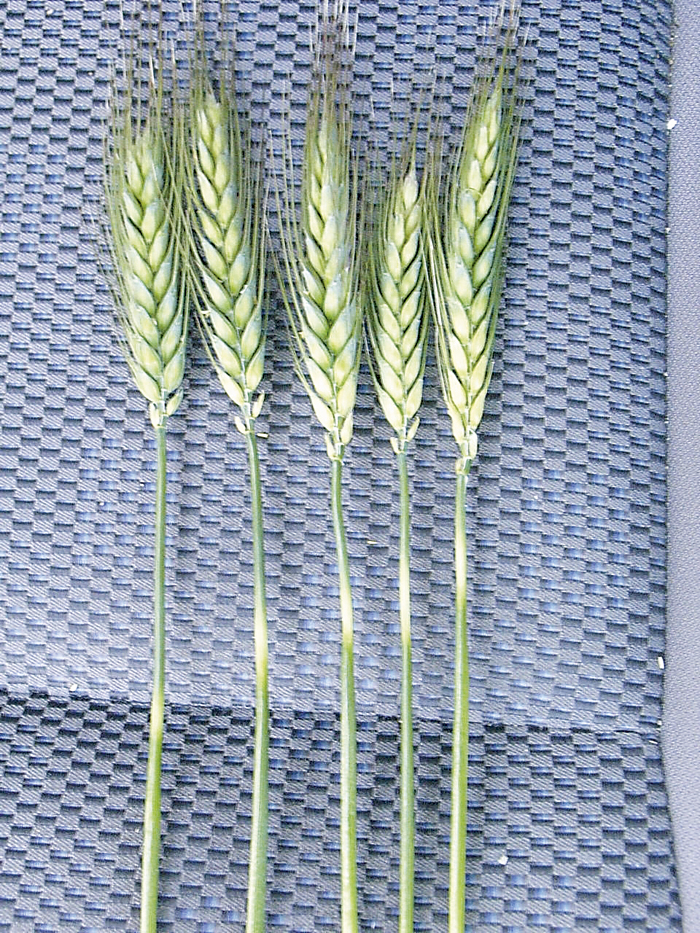Photo of frost-affected wheat stems