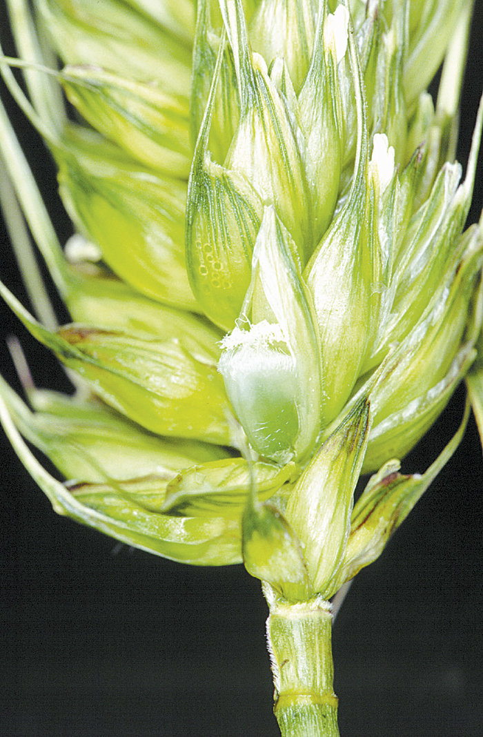 Photo of healthy developing grain