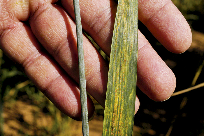 Photo of wheat showing symptoms of stripe rust leaf