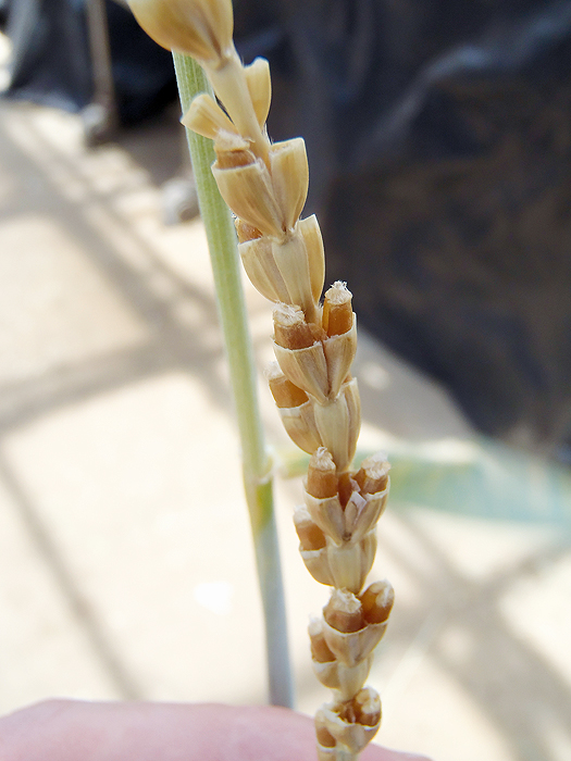 Close up of wheat ears