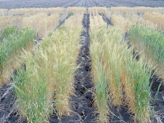 a paddock with trial wheat