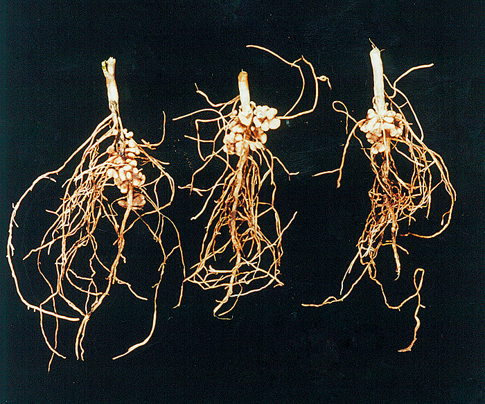 Chickpea roots