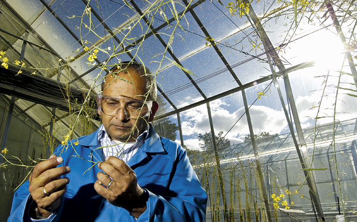 Photo of man inspecting canola