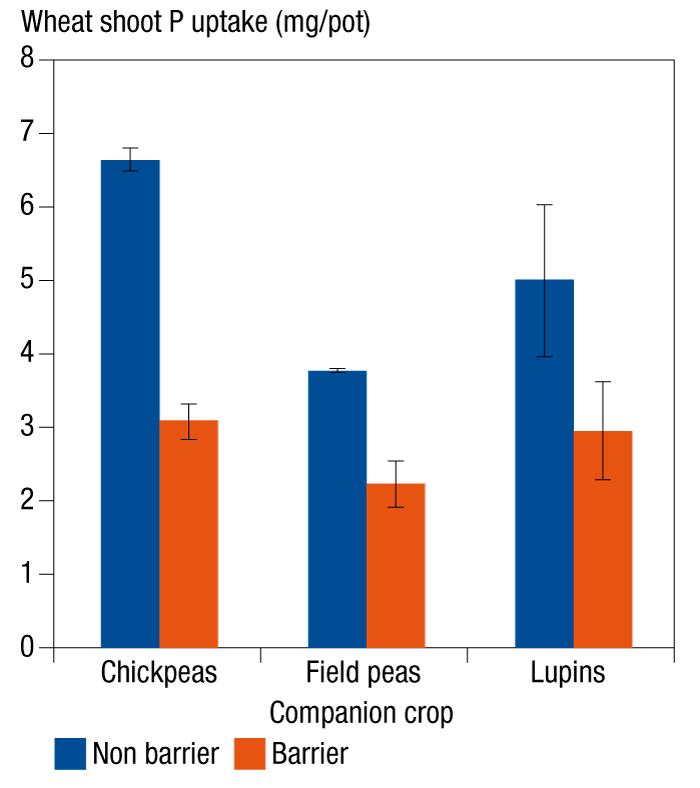 Graphic showing phosphorus uptake by wheat intercroppped with legume break crops in two systems