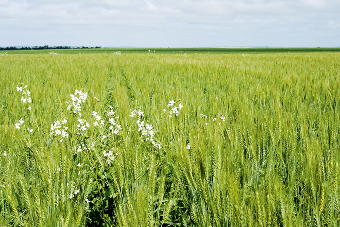 Image of a paddock with weeds