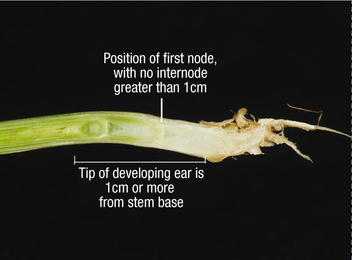 Photo of stem with description of growth stage 30 overlaid: Position of first node with no internode greater than 1cm. Tip of developing ear is 1cm more from stem base.