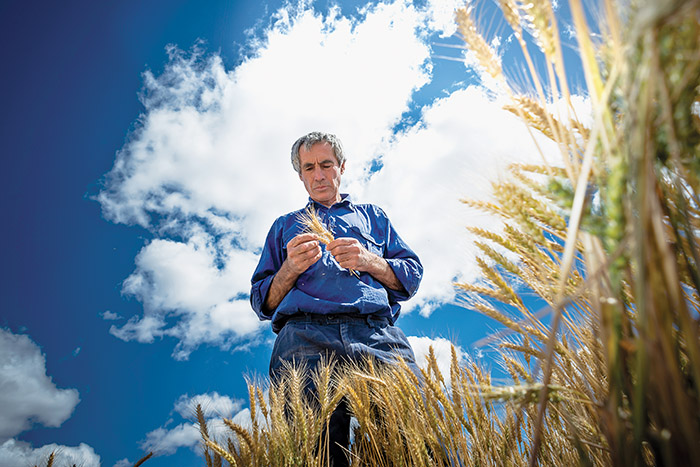 Man standing in wheat field holding a bunch of wheat