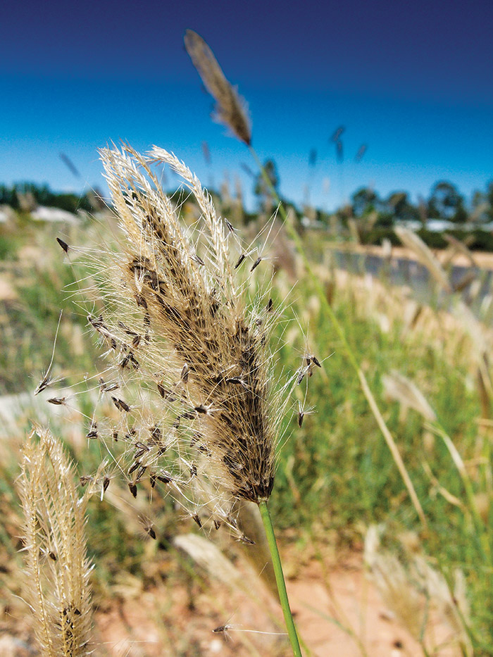 Image of feathertop Rhodes grass