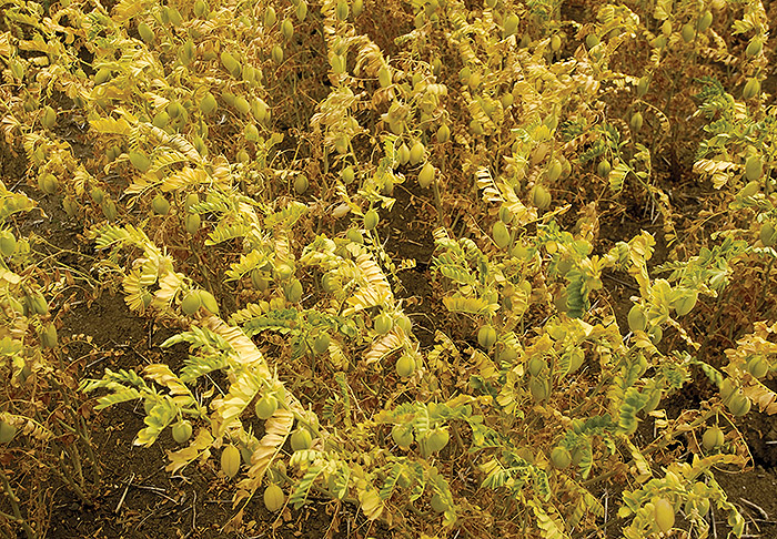 Image of chickpea plants