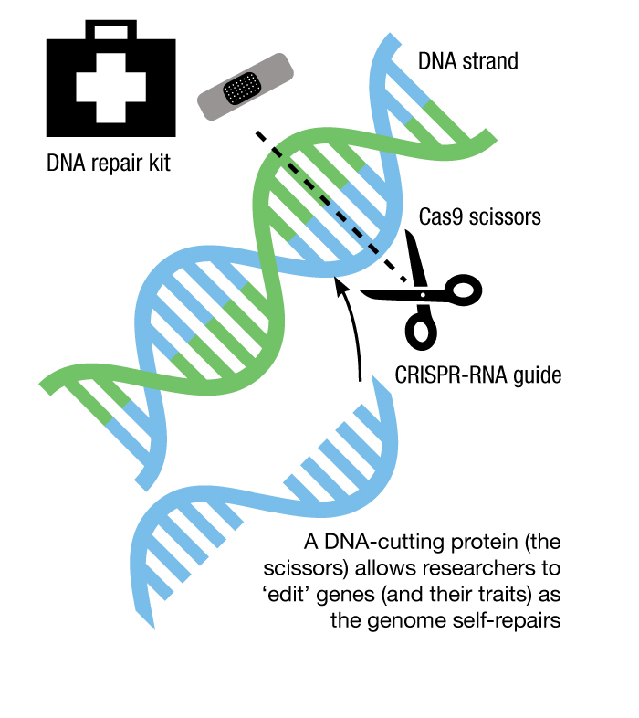 Graphic illustrating gene editing using CRISPR-RNA and Cas9