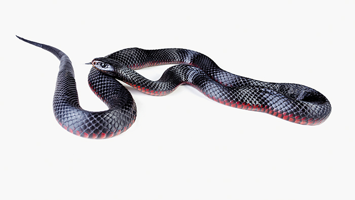 Photo of Red-bellied black snake