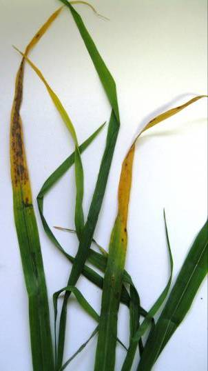 Yellowing leaf tips and brown physiological spots 2