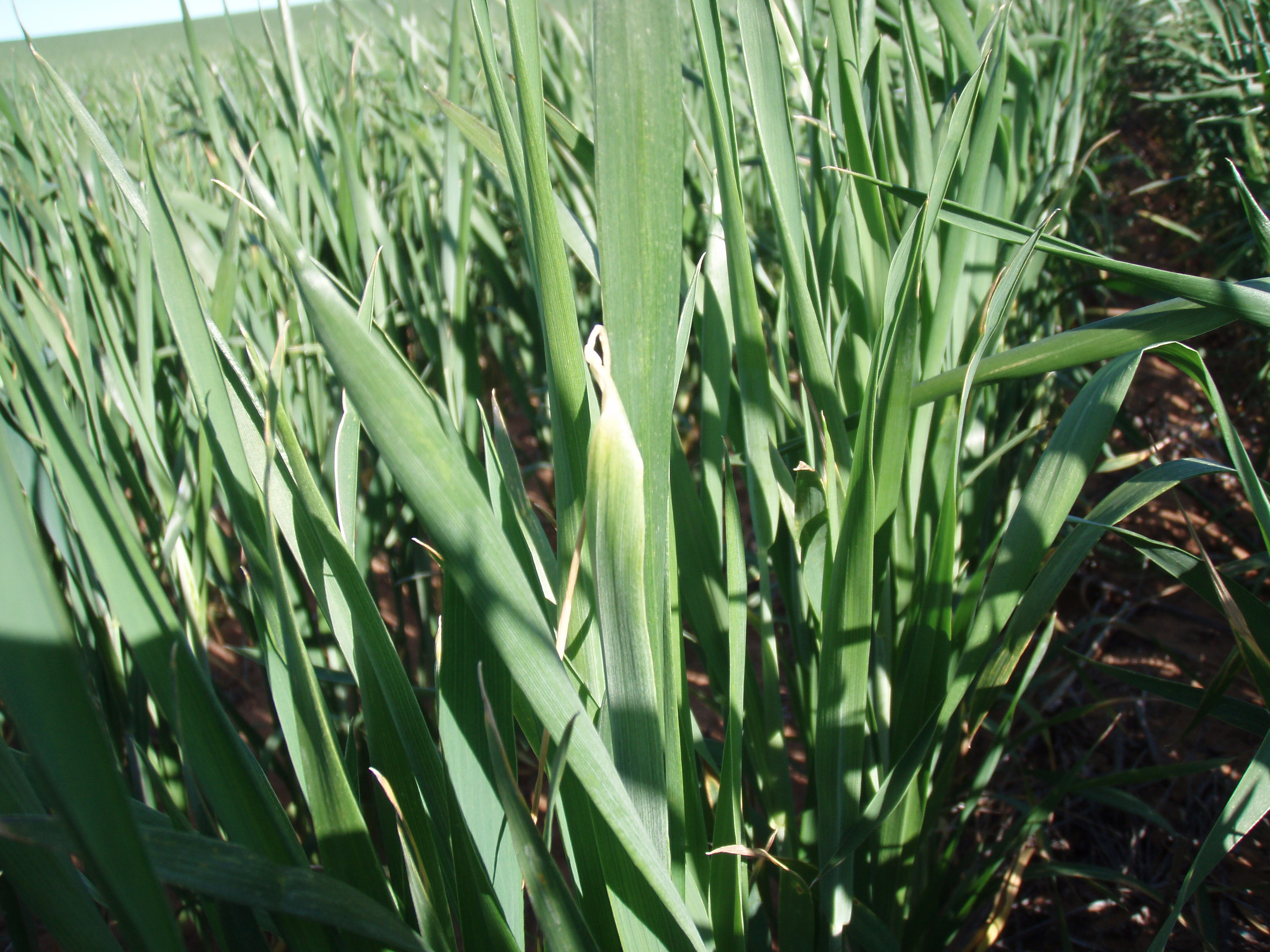 Crop leaves showing the symptoms of copper deficiency.