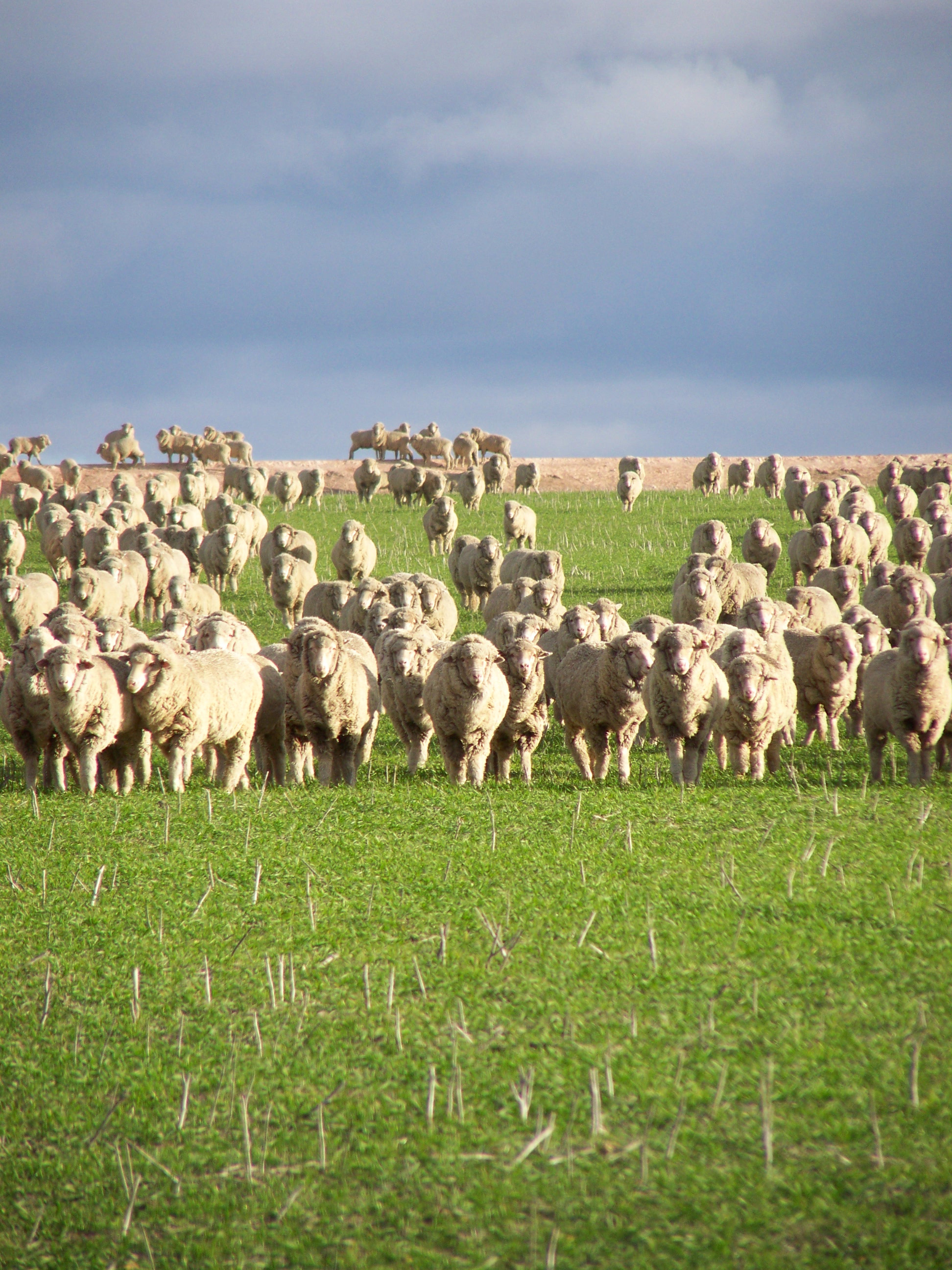 A flock of sheep grazing in a paddock.
