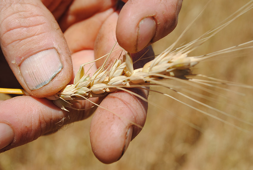 A grower holding a head of wheat with frost damage, in the paddock.