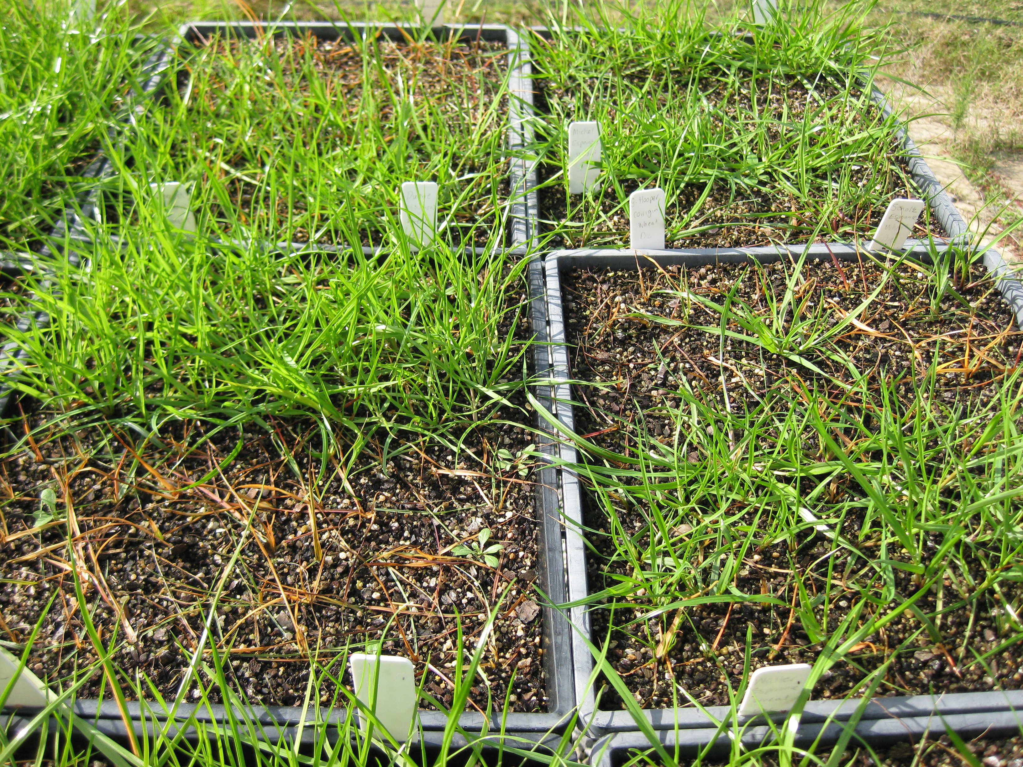 Annual ryegrass in pots, labelled and at various levels of health.
