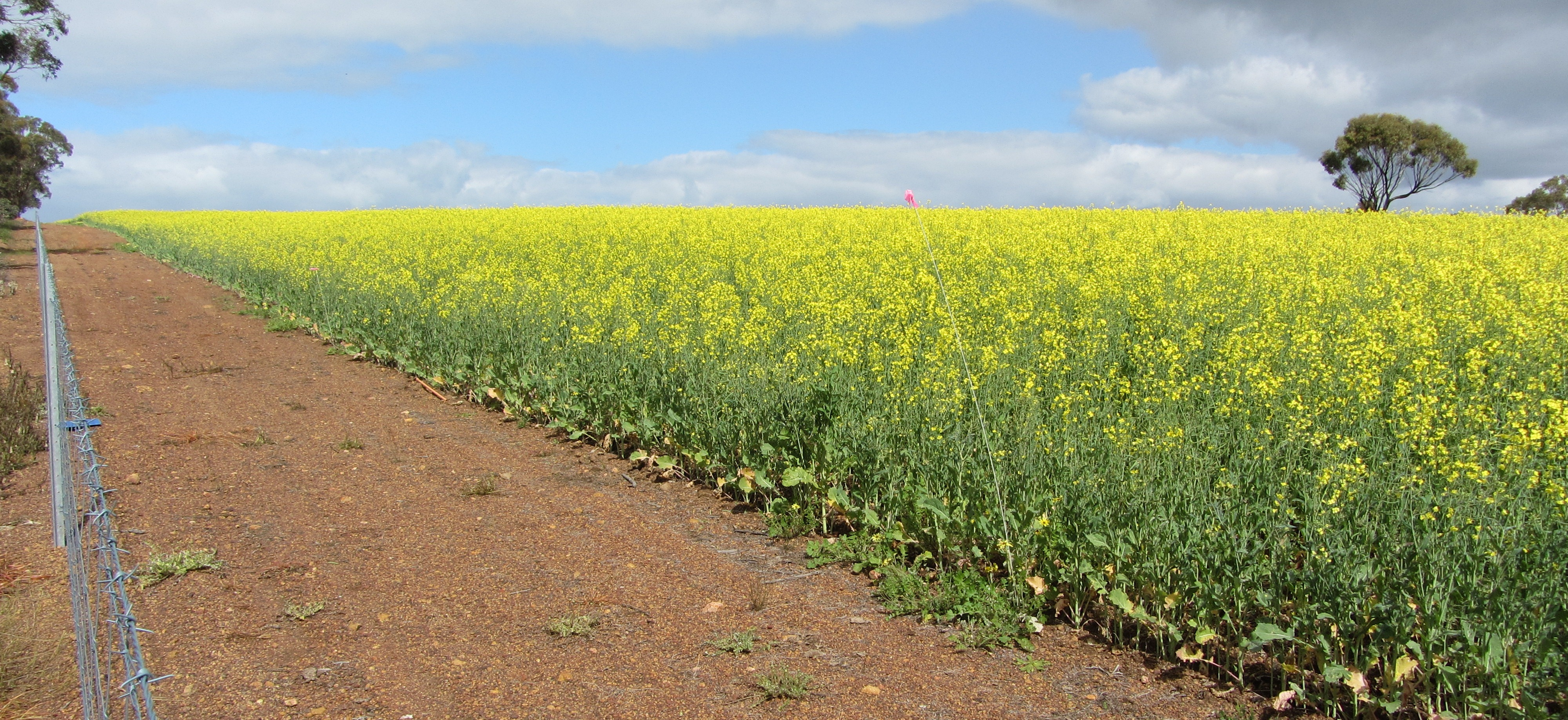Image of a canola crop and fenceline