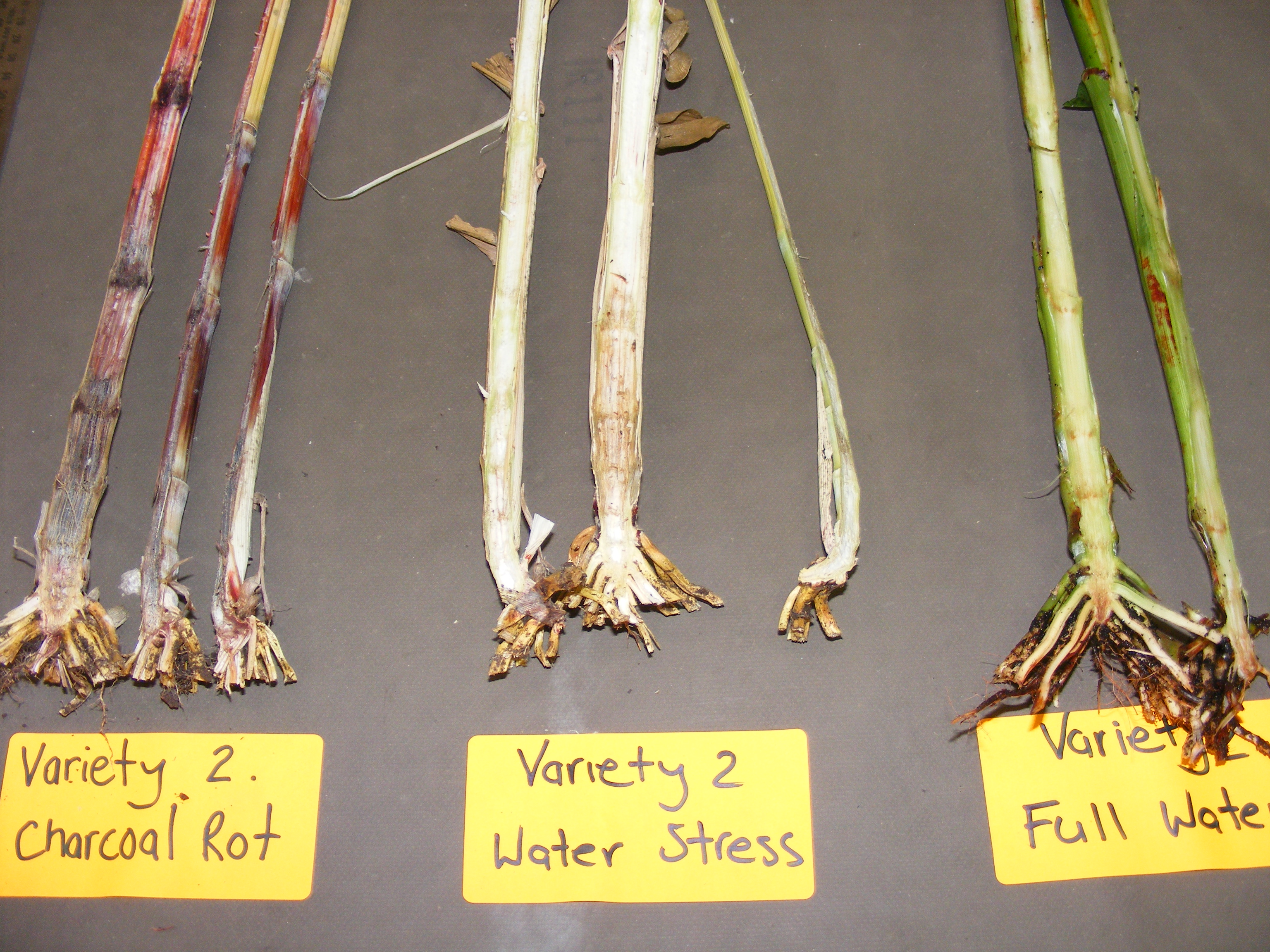 Three sets of plant samples of the same variety, showing Charcoal Rot (reddish-purple-black stems), Water Stress (pale, white stems) and Full Water (healthy green stems).