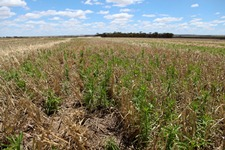 harvested field of wheat with flaxleaf fleabane growing in the stubble