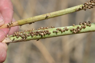 Small pointed snails on harvested canola stalk