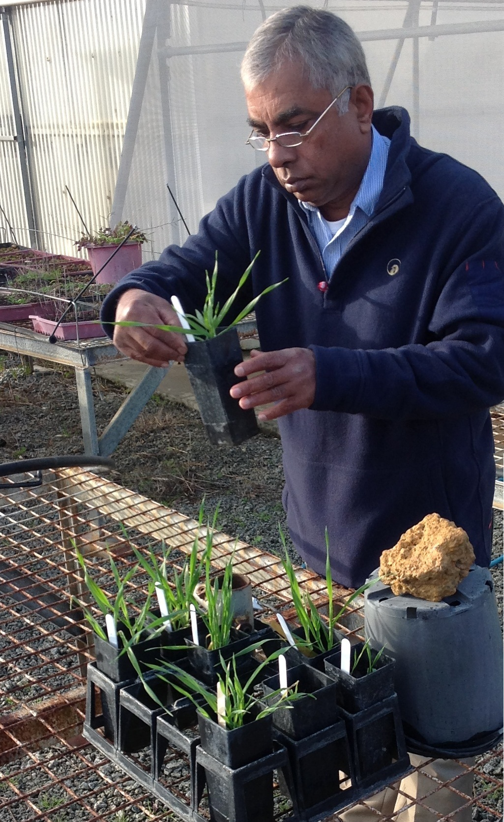 Dr Jayasena inspecting glasshouse plants for signs of disease. Photo by Jeremy Lemon, DAFWA.