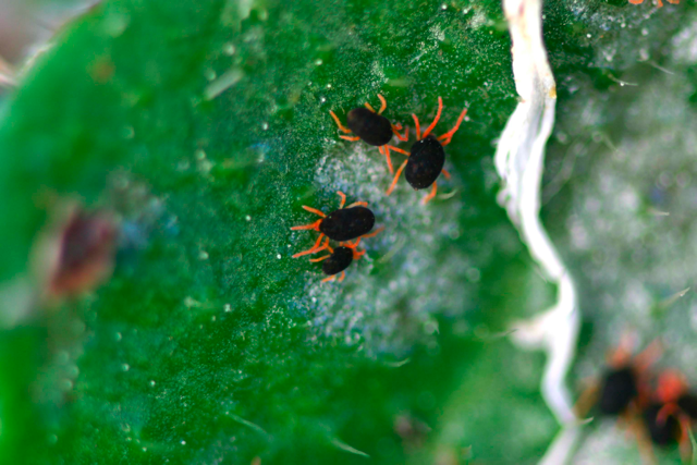 Picture of red legged earth mites