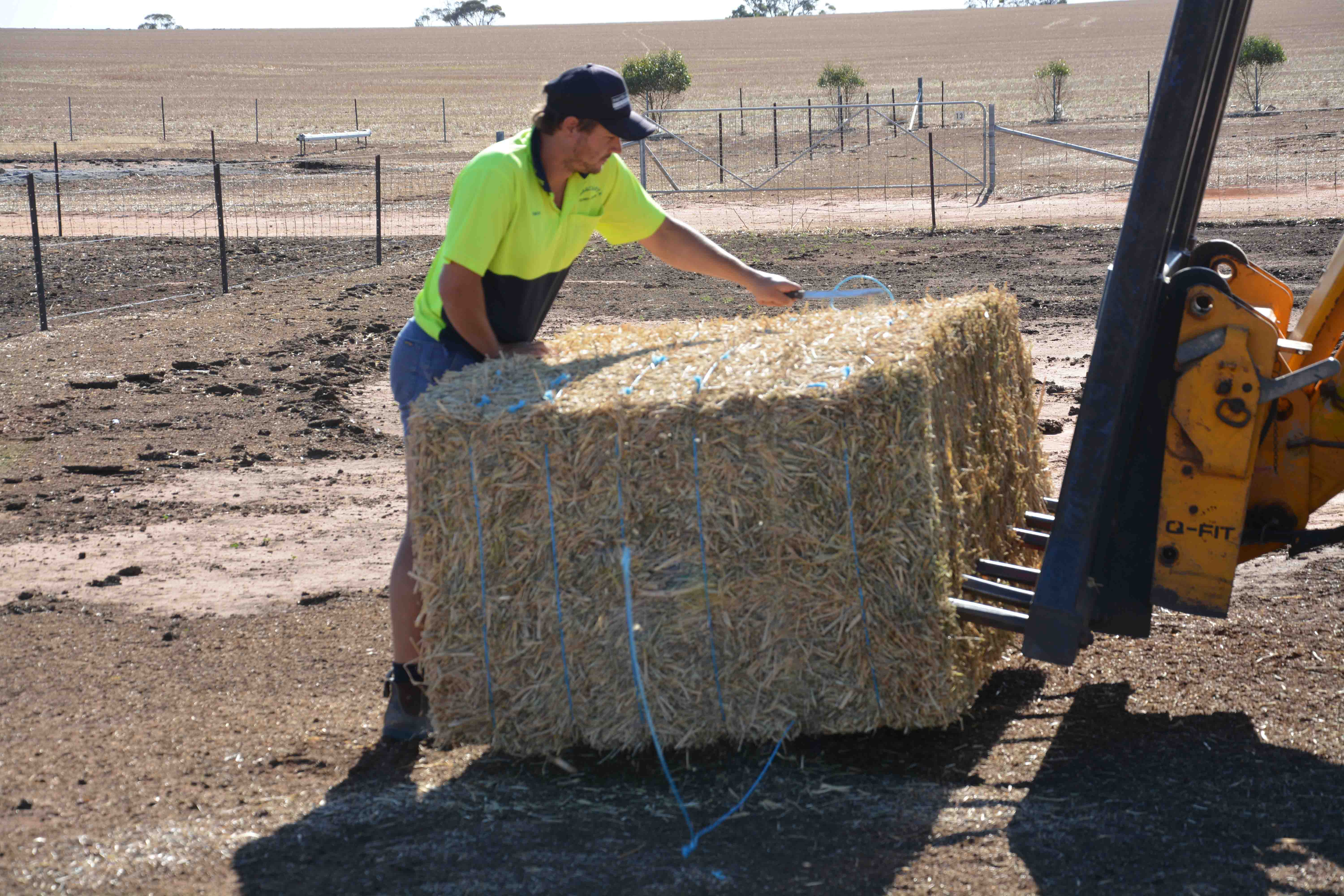 Simon Cook feeding some hay cut from frosted canola in his lamb feedlot.