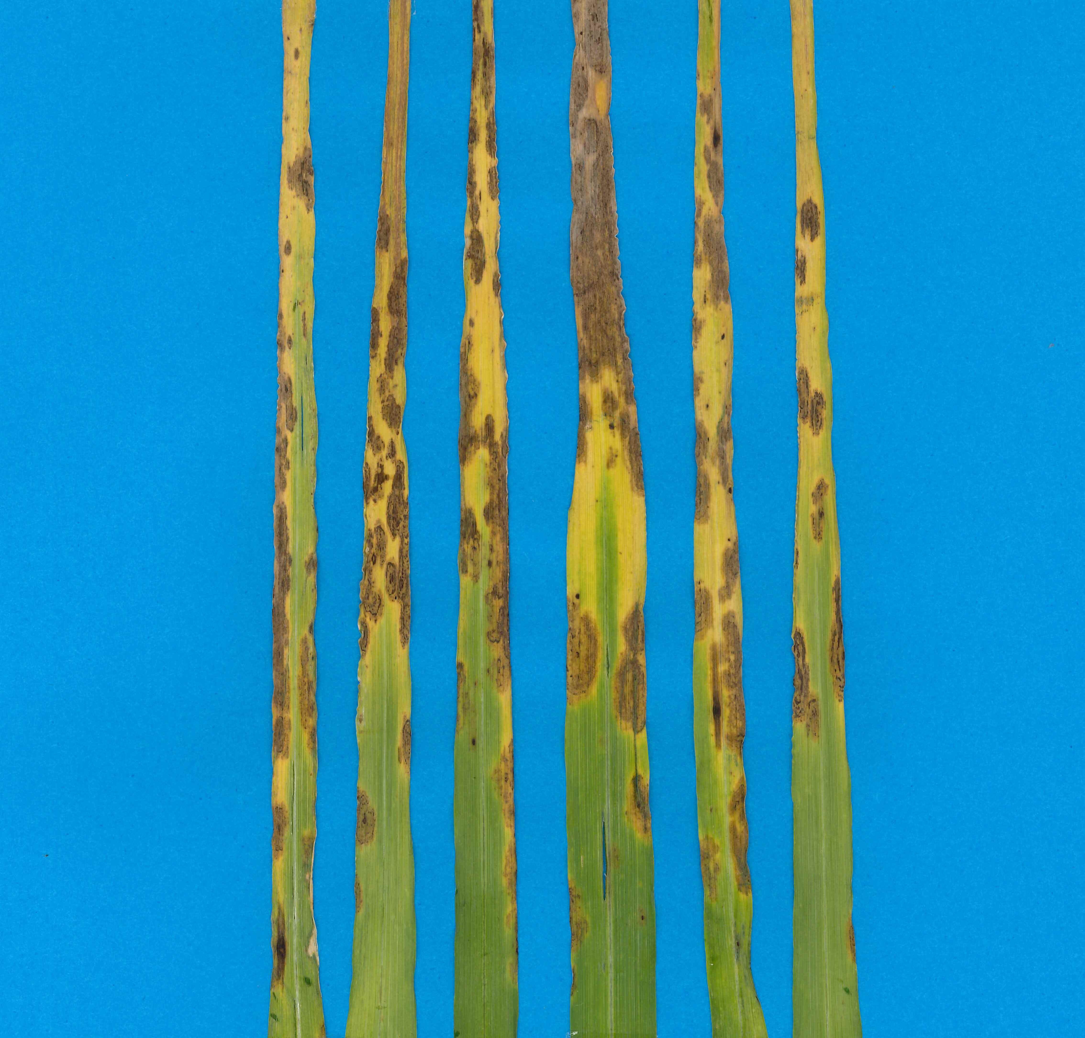 Image of black spot on barley. Photo supplied by DAFF.