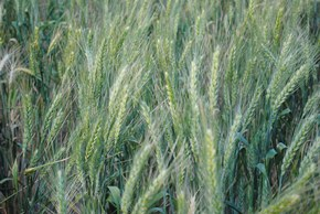 Picture of a crop of wheat