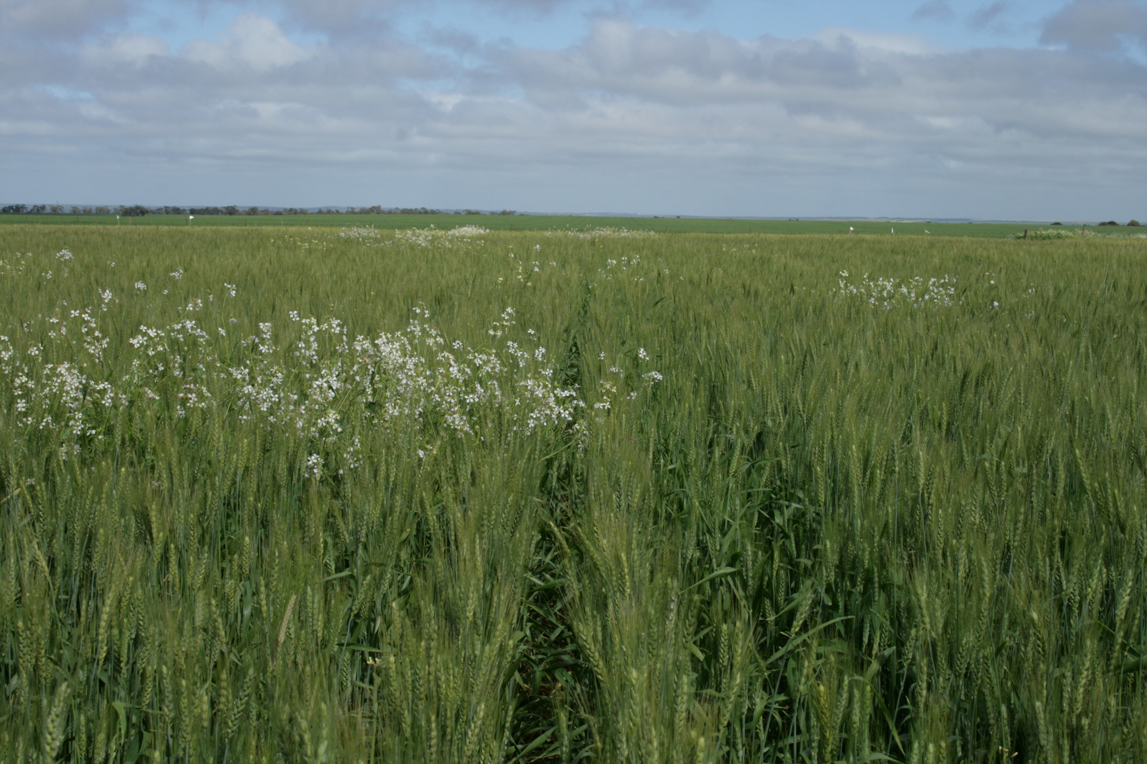 Image of wild radish in growing within a crop of wheat