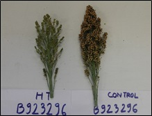 Figure 1. Effect of high temperature on seed set of B923296 (left panel) and contrasting effect for genotype 85G56 (right panel)