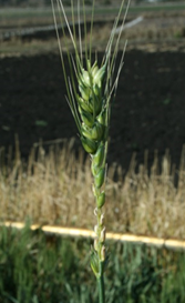 Grain frost damage prior to head emergence.