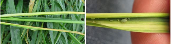 3. Infestation of plants up to head emergence can result in rolling of the flag leaf, resulting in the head being trapped in the boot.
