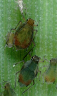 Table 1. RWA identification and distinguishing it from other aphid species