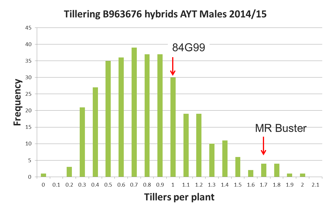 Figure 6. Tillering potential in experimental hybrids compared to high and low tillering commercial hybrids