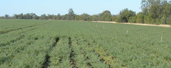 Figure 3. Gindie chickpea showing growth in the control treatment (foreground) and with deep PK (background) at 30 August 2013