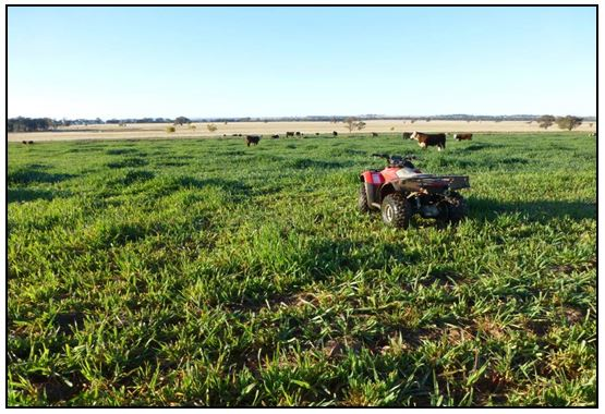 Figure 2. Urea at 100 kg/ha applied to oats mid-winter. In foreground no urea applied.