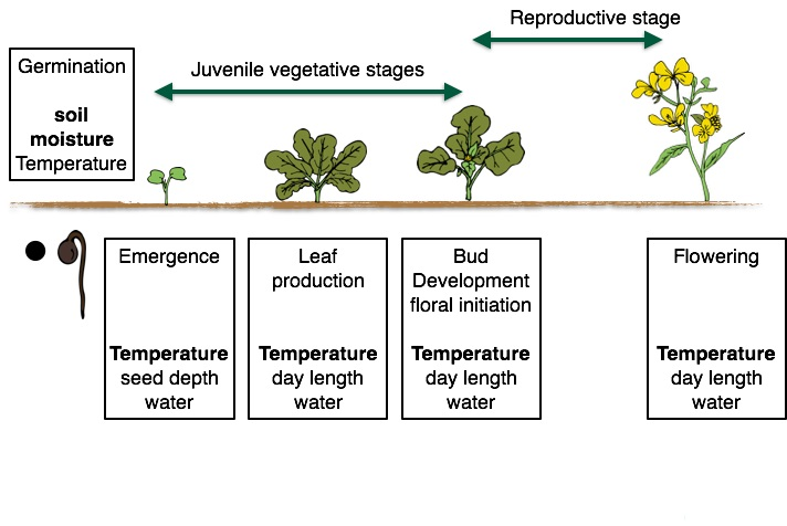 Figure 1. Growth stages for monocot and dicot crops, highlighting the different growth stages and the dominant environmental signels that influence growth in that stage.