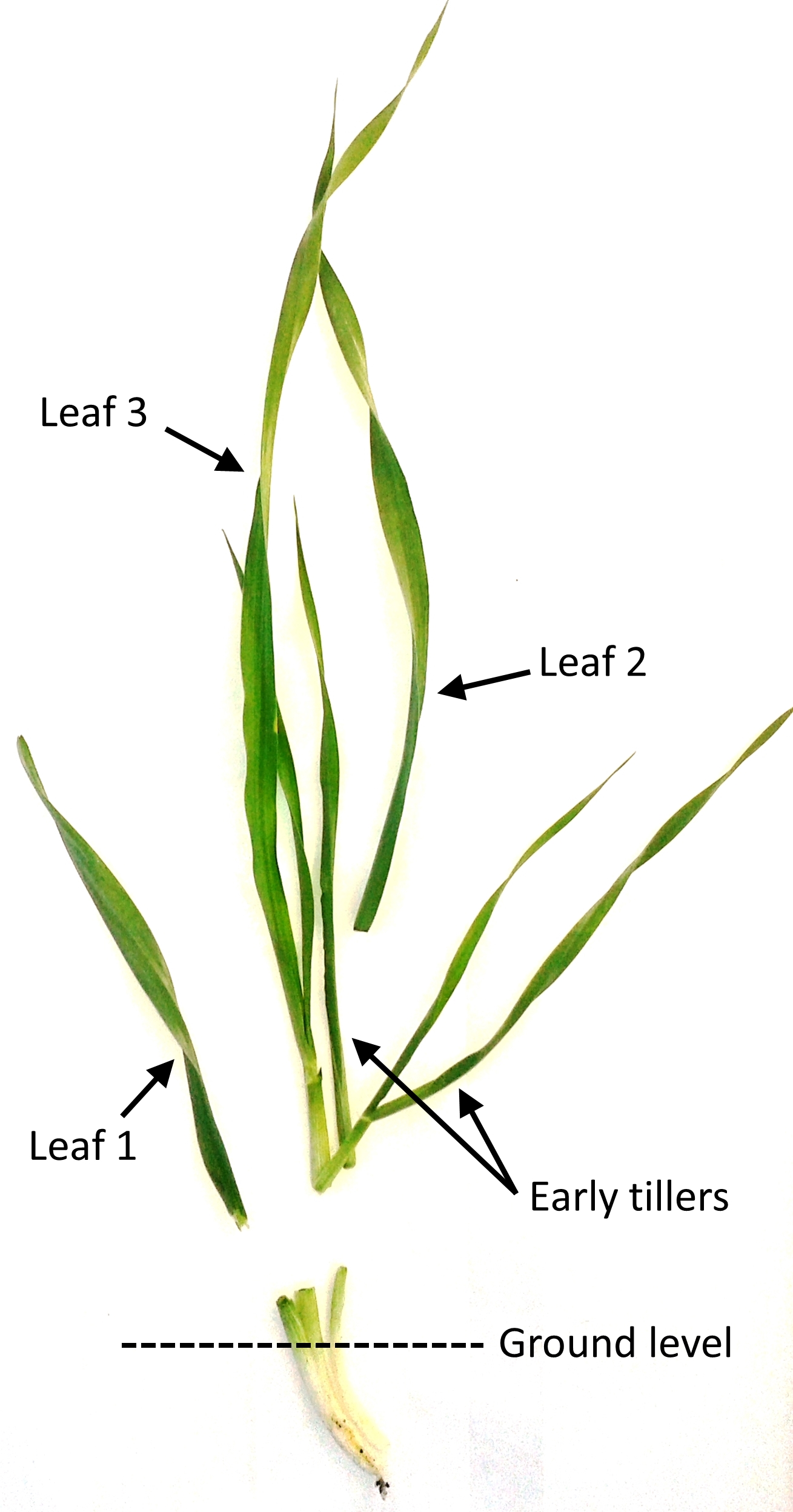 Figure 1. Component traits of early vigour in barley. Featured plant was sampled 25 days after sowing at the field trial conducted at Hermitage Research Facility, Warwick, Queensland. Early tillers emerged in the axils of leaf 1 and leaf 2.