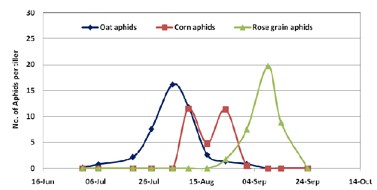 Figure 5.Population dynamics of 3 species of cereal aphid on untreated Fitzroy barley, Moree 2009. NGA.