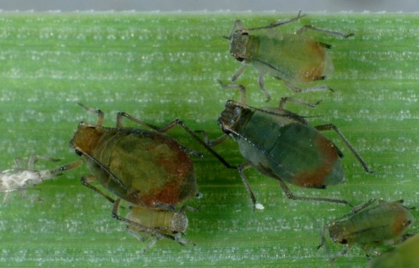 Oat aphid