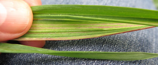 Figure 1. White streaking of the leaves. Some varieties show reddening.