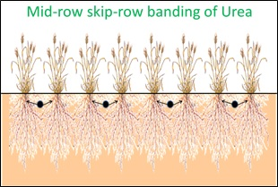 Figure 1. Diagrammatic example of urea placement (black dots) for the nitrogen banded treatment