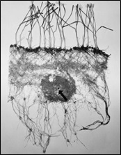 Figure 3. Excavated root system of wheat plants whose roots were provided with a concentrated band of ammonium sulphate at the head of the arrow