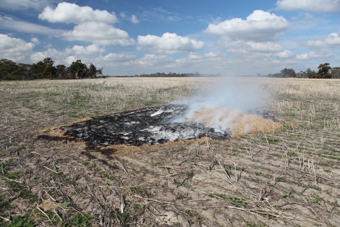 Chaff dumps can be burnt in autumn killing a high proportion of seeds present