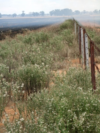 Flaxleaf fleabane along this fence will easily spread into neighbouring fields