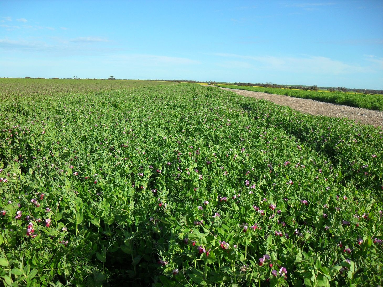 Dun field pea breeding program