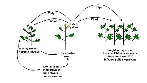Figure 1: Disease cycle of TSV