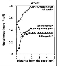Figure 2.11 (right)  The effect of root action on the concentration of total P, organic P, and inorganic P.
