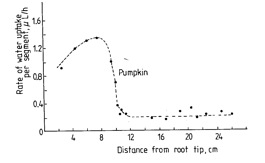 Figure 2.3.  The rate of water uptake at various distances behind the root apex of pumpkin (from Mengel and Kirkby 2001).